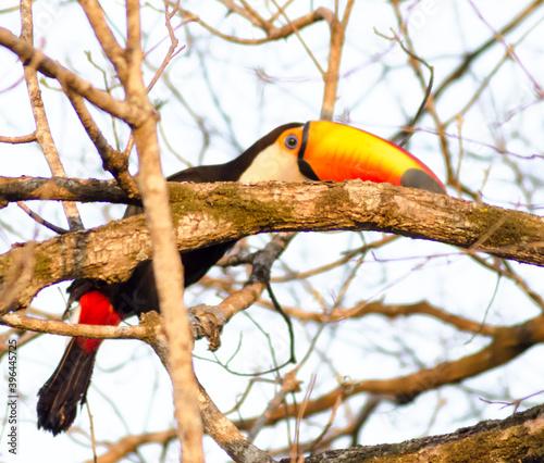 Fototapeta premium toucan on a tree brazil