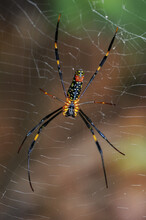 Nephila Clavata, Also Known As The Jorō Spider, Is A Member Of The Golden Orb-web Spider Genus.