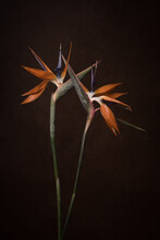 Conceptual Art Portrait Of Two Strelitzia Flowers (Bird Of Paradise Flower)  In Love