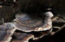 Turkey Tail Fungus In Macro