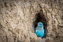 The European Roller Bird Chick...