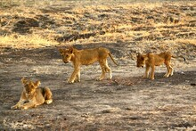 Three Lion Cubs In Selous Game Reserve, Tanzania.