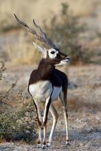 Blackbuck, Antilope Cervicapra