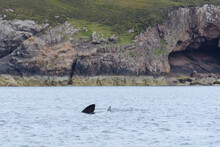 Basking Shark Swims Away From A Geological Rock Cave Background