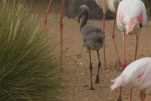 Flamingos Or Flamingoes Are A Type Of Wading Bird In The Family Phoenicopteridae, The Only Bird Family In The Order Phoenicopteriformes.
