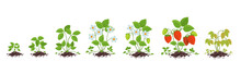 Strawberry Plant Growth Stages. Fragaria Development. Harvest Animation Progression. In The Pile Dirt Soil. Berry Ripening Period Vector Infographic.