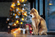 Beautiful Cat At Home Near The Christmas Tree
