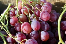 Bunch Of Organically Grown Red Globe Variety Pink Table Grapes