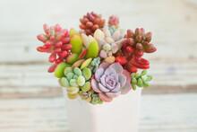 Rare Colorful Succulent Echeveria, Sedum, Pachyphytum And Graptoveria Flowers Plants, Mini Garden In White Pot