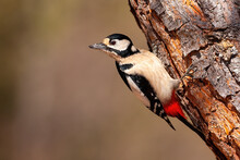 Great Spotted Woodpecker, Dend...