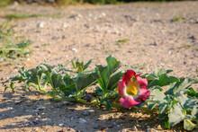 Devil's Claw (Harpagophytum Procumbens) Medicinal Plant And Flower. Kalahari Desert. Botswana