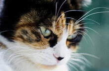 Close-up Portrait Of A Serious Tricolor Cat With Green Smart Eyes On A Turquoise Background.
