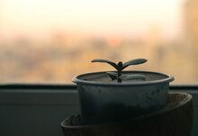 Money Tree Plant In A Gray Pot. It Stands Against The Background Of A Window, Behind Which Is A Warm Sunset. Photo In Discreet Warm Colors.