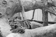 Clouded Leopard Laying On A Tree Branch With An Intense Look..