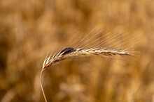 Rye With Ergot (fungus) In Field