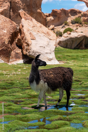 Fototapeta premium A llama (camelid native to South America) in the southwest of the altiplano in Bolivia
