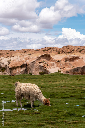 Fototapeta premium A llama (camelid native to South America) eating grass in the southwest of the altiplano in Bolivia
