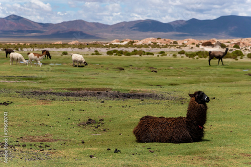 Fototapeta premium Some llamas (camelid native to South America), eating grass in the southwest of the altiplano in Bolivia
