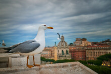 Large Gray Seagull Nearby Basilica Of St. Mary Of The Altar Of Heaven In Rome, Italy.