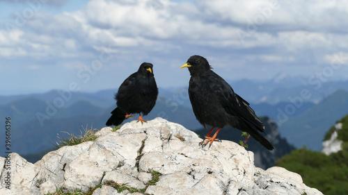 Fototapeta premium Two jackdaws (Corvus monedula) in the mountains
