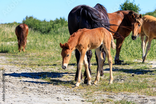 brown foal bowed his head to the ground while standing in the sand on the backgr Fotobehang