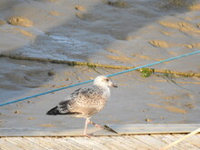 A Seagull Is Walking Along A Wooden Pier At A Muddy Shore