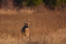 White Tailed Deer Buck In Fall Meadow
