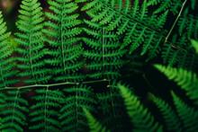 Close Up Of Bracken In Forest
