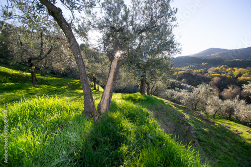 olive grove in the mountains of Tuscany land, at sunrise. Autumn landscape