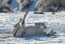 Grey Horse Rolling In Snow In The Winter In A Field With Winter Shoes On Laying Down With Feet And Legs In The Air In The White Snow