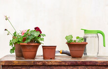 Pots Of Flowers For Transplanting Are On The Gardener's Table
