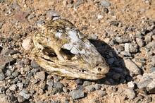 Dry Lizard Skull Bone Of A Lizard Reptile Snake