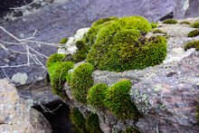 Green Moss Grows On Stone