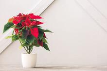 Christmas Plant Poinsettia On Table Against Light Background