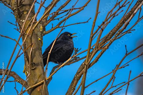 Blackbird on a tree branch © sardinelly