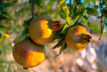 Unripe Sweet Pomegranates Hang...
