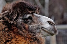 Bactrian Camel Camelus Bactrianus