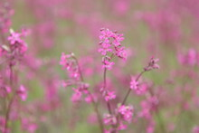 Pink Flowers (viscaria Vulgaris) On Meadow Near Smolensk City, Russia. Russian Rural Summer Nature. Countryside, Village In Russia. Blossom Viscaria Vulgaris. Blooming Sticky Catchfly. Seasonal Flower