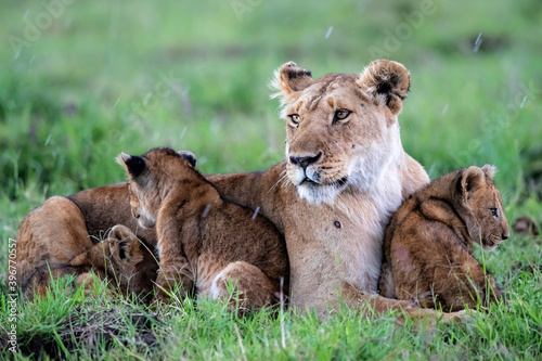 Lioness, with small cubs, resting in the Masai Mara National Park in Kenya Fototapete