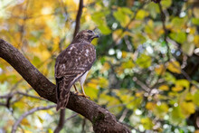 Cooper's Hawk (Accipiter Cooperii) Perched On A Branch, Looking At The Viewer, With Yellow Fall Foliage In Background