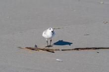 Curious Sanderling On Beach