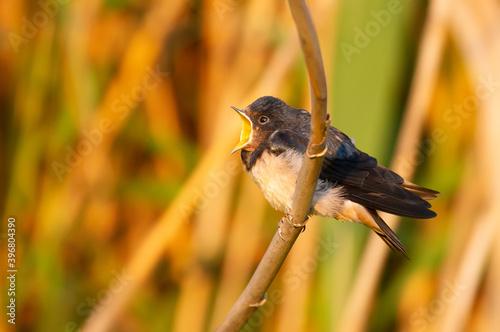 Canvastavla Barn swallow, Hirundo rustica