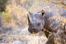 Black Rhinoceros (Diceros Bicornis) Walking In The Bush In The Kruger National Park Of South Africa In Brillian Late Afternoon Golden Light.