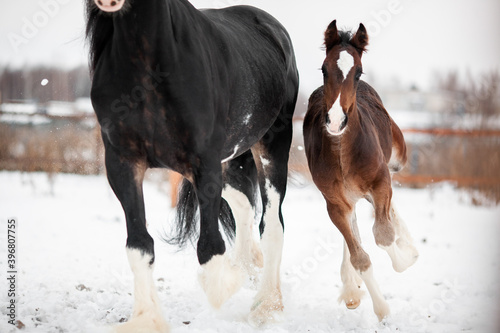 A foal with a mother horse of the Shire breed gallop across a snowy field in win Canvas