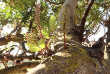 Carob Tree In The Beginning Of Growth Of Seeds After Pollination