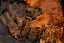 Dachshund Mother Watching Over Her Five Young Puppies