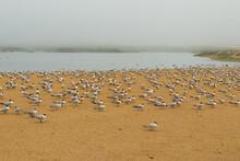 Least Tern Birds On The Beach. Large Group Of Seabirds, California Wildlife