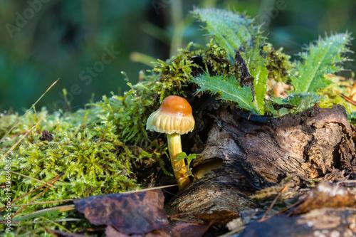 Fototapeta Ekosystem grzyb, mech i oset w lesie obraz