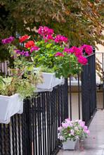 The Blossoming Geranium Flowers