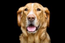 Happy Large Golden Dog Portrait On Black
